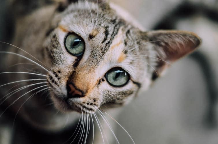 Smartest Cat Breeds In The World (Pt II)