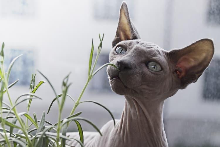 Best Hypoallergenic Cat Breeds (Part I)