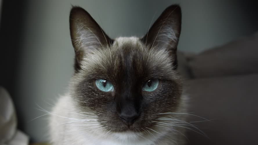 Interesting Facts About Siamese Cats