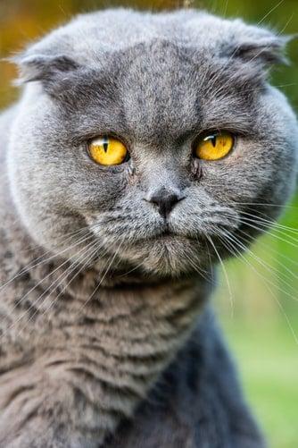 Smartest Cat Breeds In The World (Pt I)