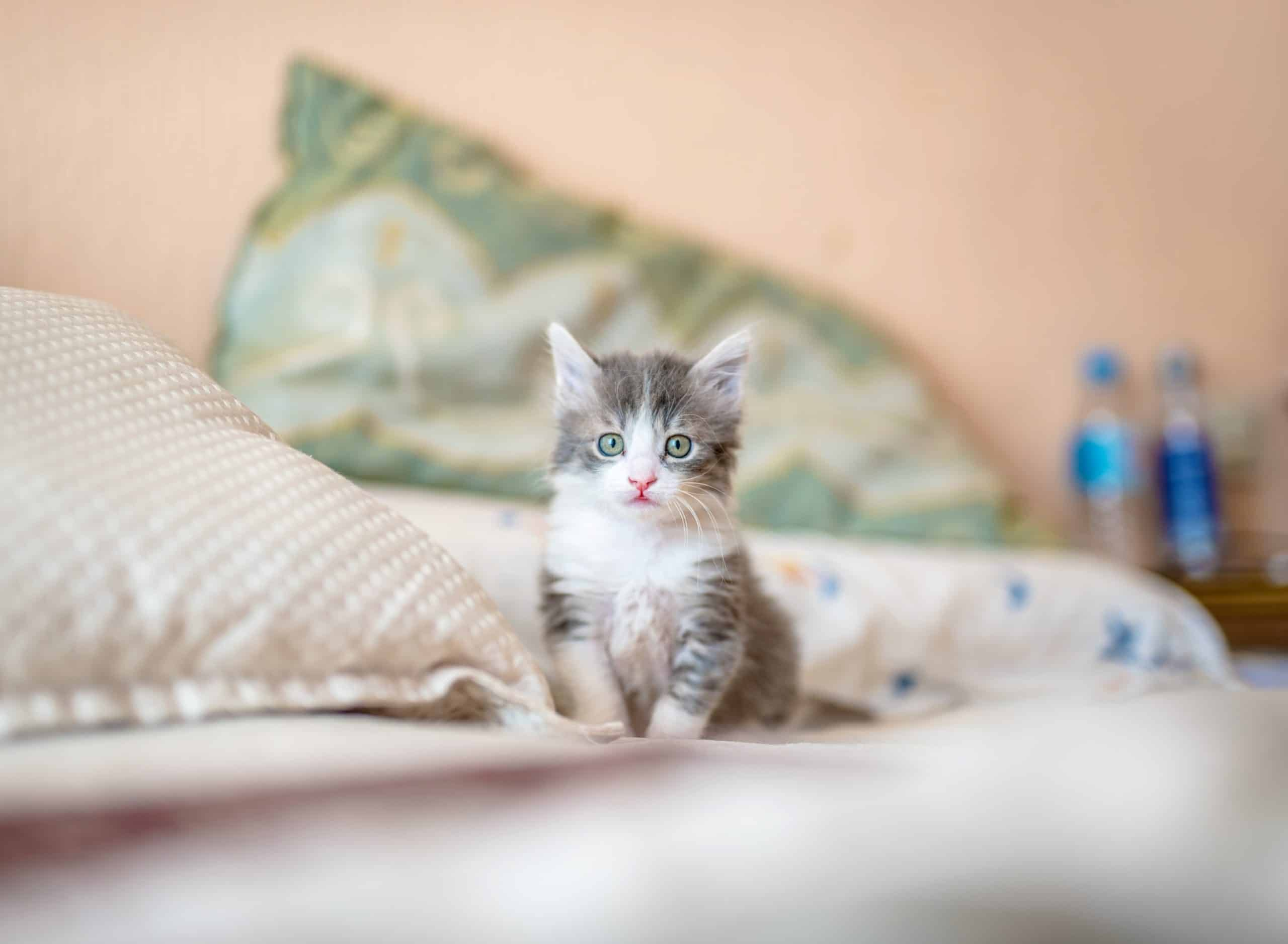 Cat Breeds For Your Pet