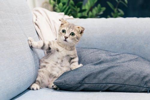 Cat Breeds: Selecting The Calmest Cat Breeds