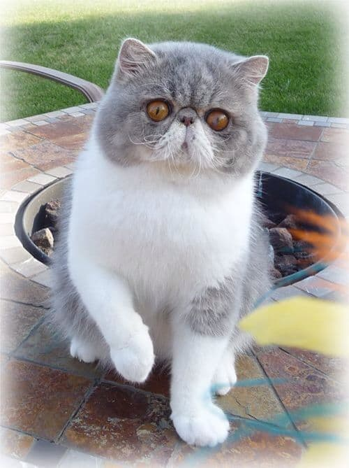 Best 4 Cat Breeds With Short Hair To Pet