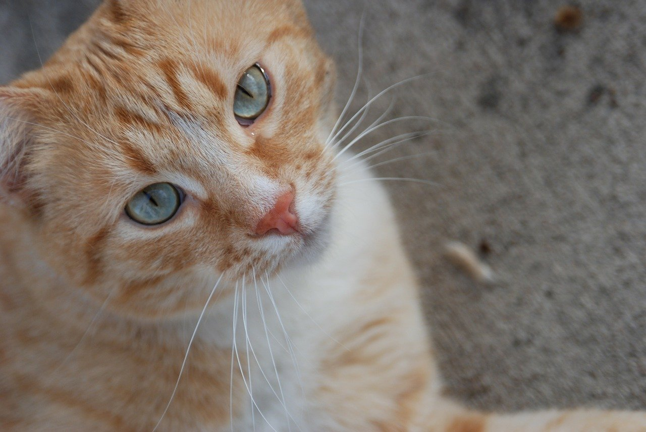 A close up of an orange cat looking at the camera